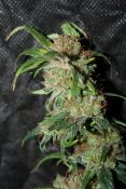 2012_03_15_LED_NevHaze7_84days5.jpg