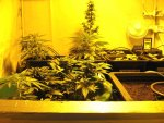 Three Lowryder Strains growing In A Homebox.jpg